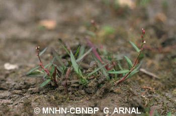 Persicaria minor