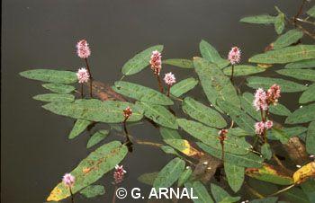 Persicaria amphibia