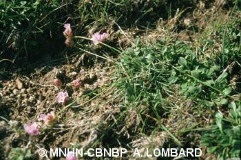 Armeria multiceps