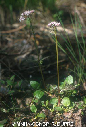 Valeriana dioica