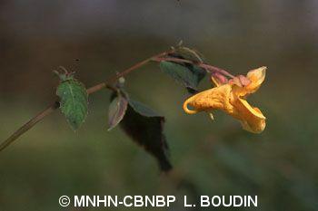 Impatiens capensis