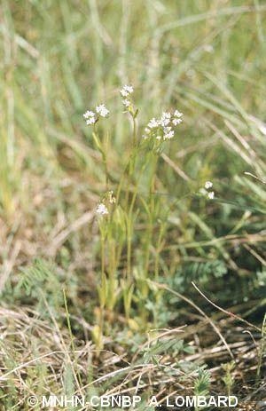 Valerianella coronata f. pumila
