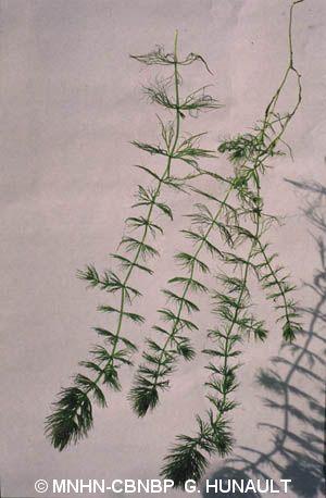 Ceratophyllum submersum