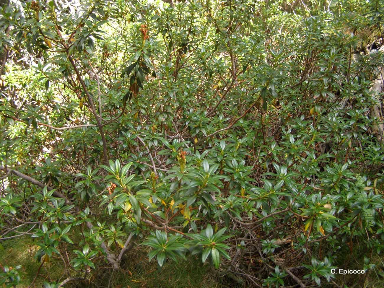 Rhododendron ferrugineum