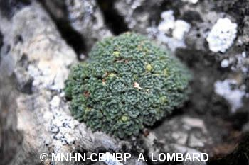 Androsace pubescens