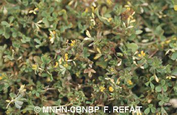 Trifolium micranthum
