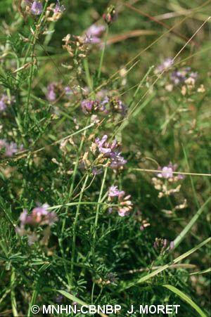 Oxytropis pilosa
