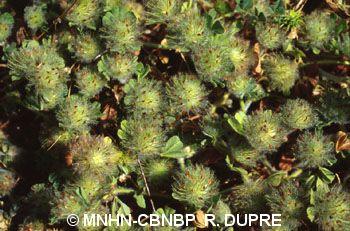 Trifolium cherleri
