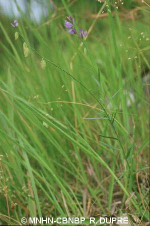 Polygala nicaeensis