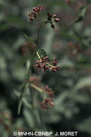 Vincetoxicum nigrum