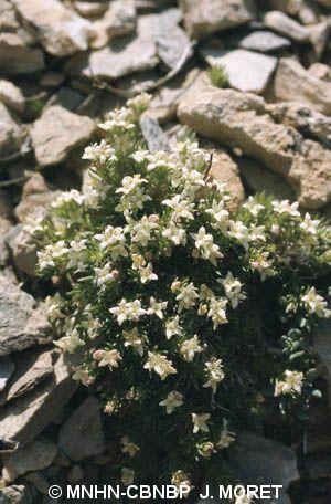Galium pyrenaicum