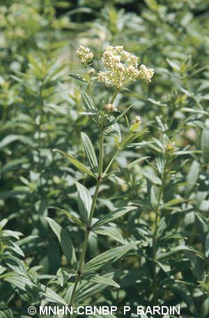 Galium rubioides
