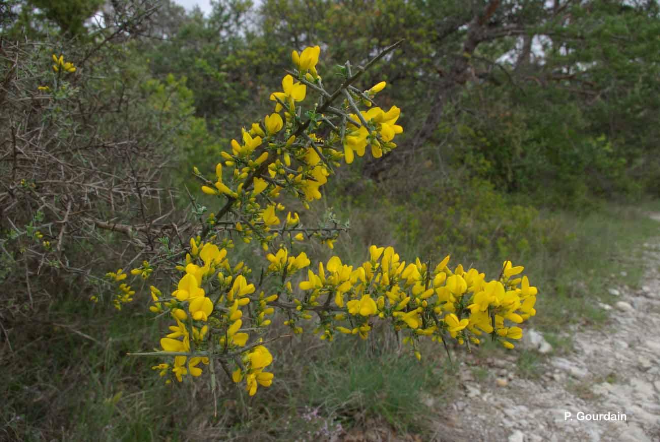 Cytisus spinosus