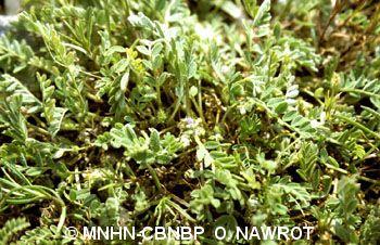 Astragalus sesameus