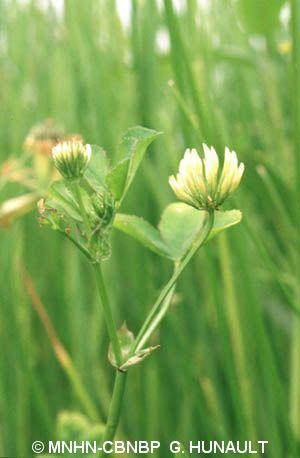 Trifolium michelianum