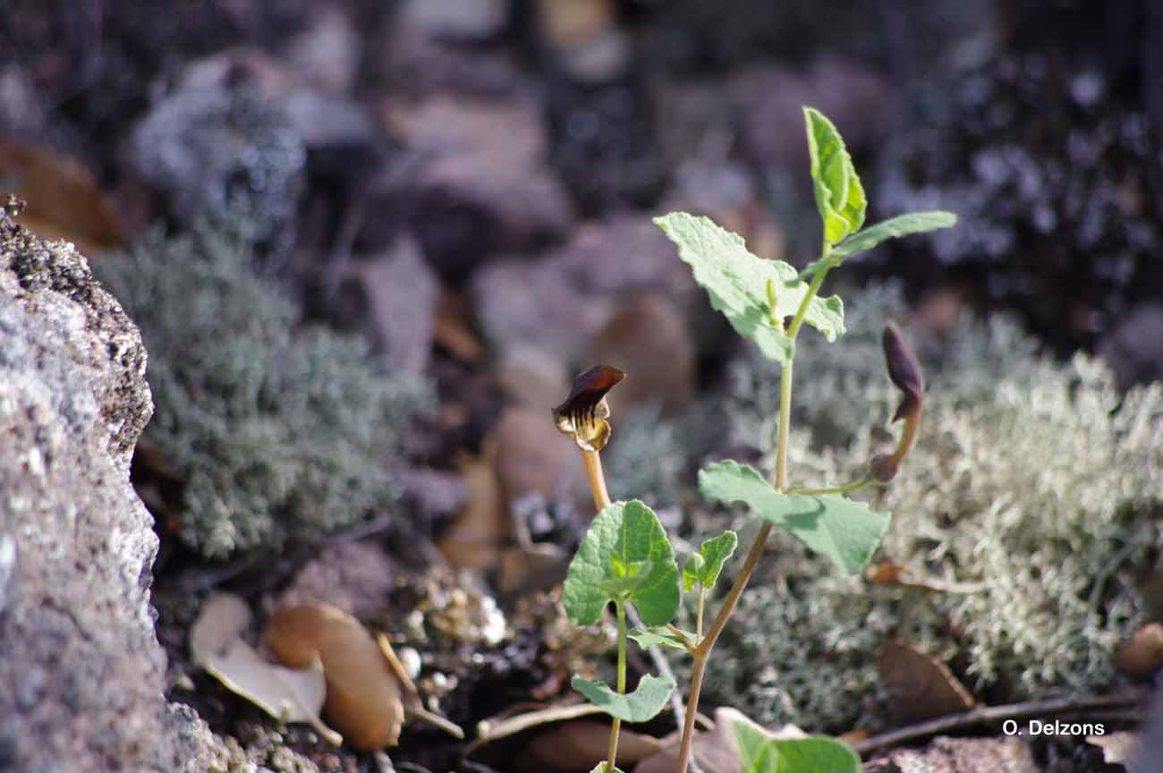 Aristolochia pistolochia