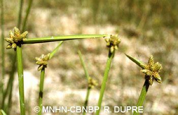 Schoenoplectus mucronatus