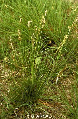 Juncus squarrosus