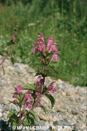 Lamium garganicum subsp. garganicum