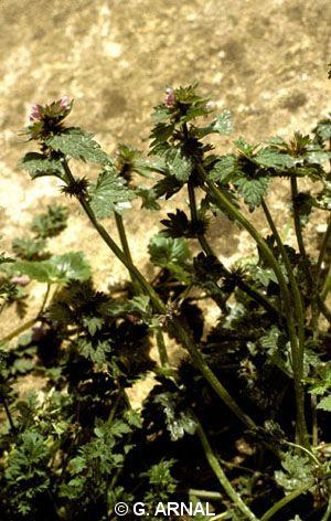 Lamium hybridum