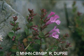 Micromeria marginata