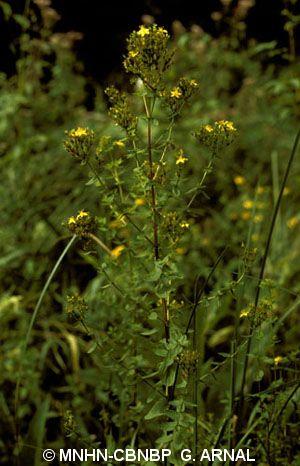 Hypericum tetrapterum