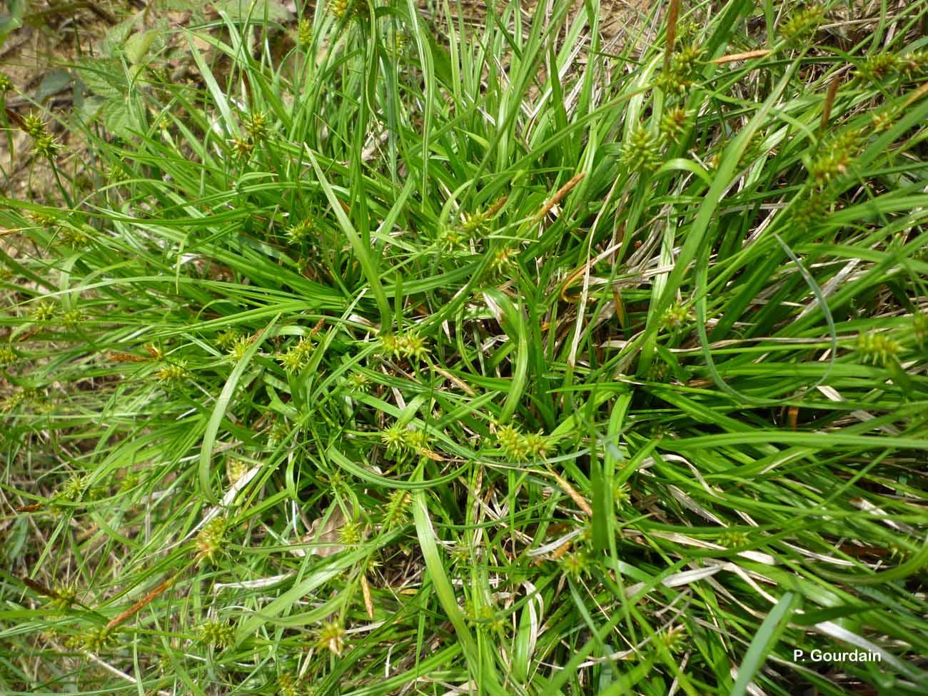 Carex demissa