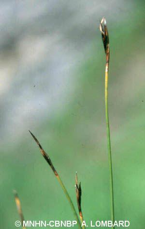 Schoenus ferrugineus