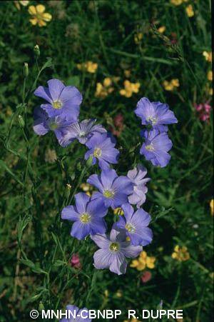 Linum alpinum