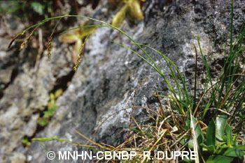 Carex brachystachys