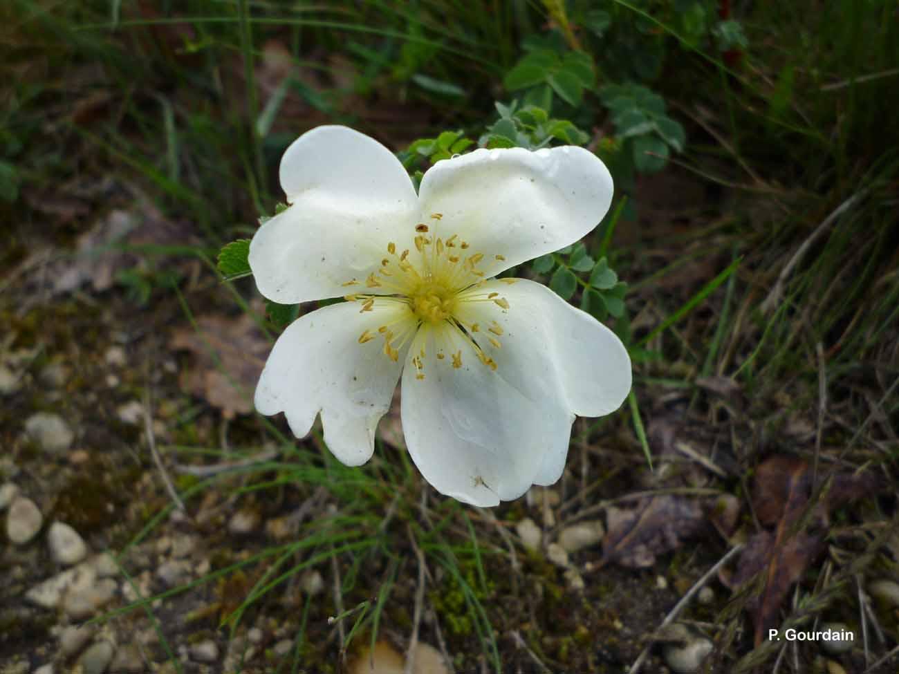 Rosa spinosissima