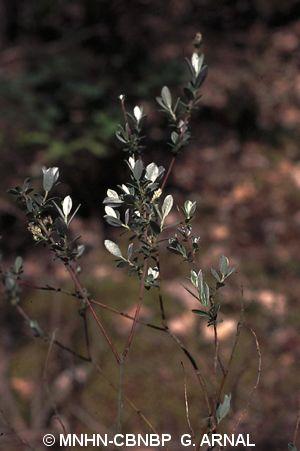 Salix repens subsp. dunensis