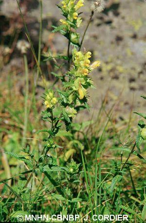 Rhinanthus pumilus