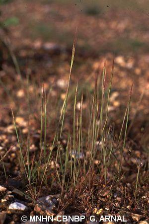 Vulpia ciliata