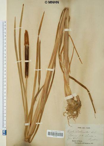 Typha shuttleworthii