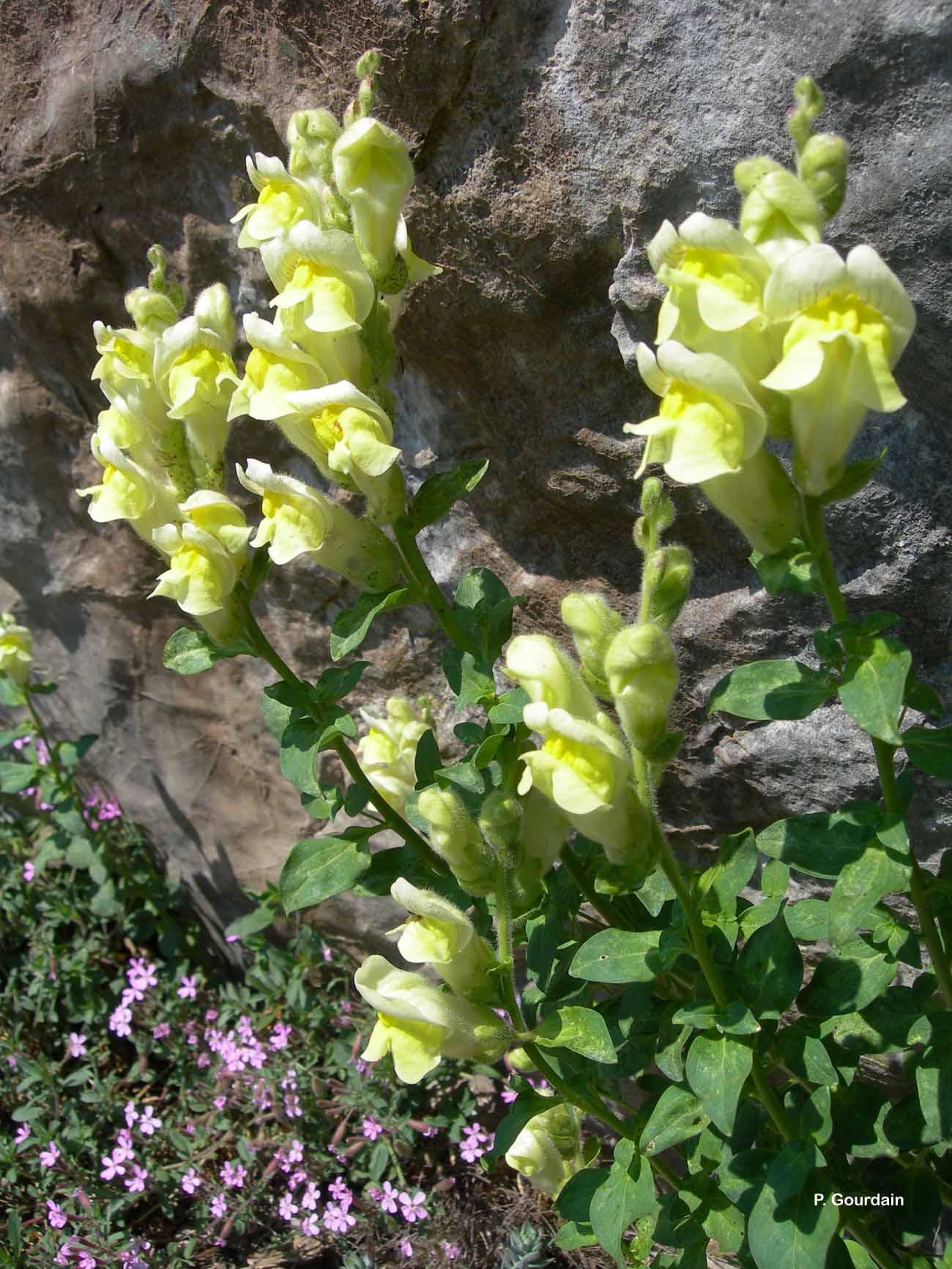 Antirrhinum majus subsp. latifolium