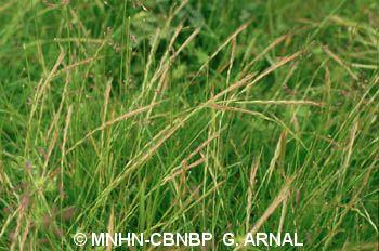 Vulpia myuros