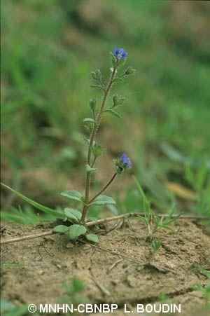 Veronica acinifolia