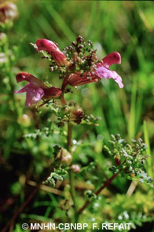 Pedicularis palustris