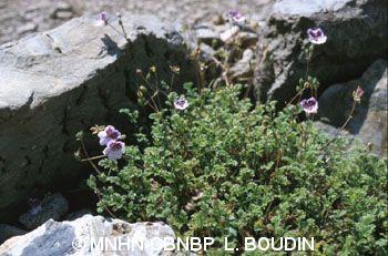 Erodium glandulosum