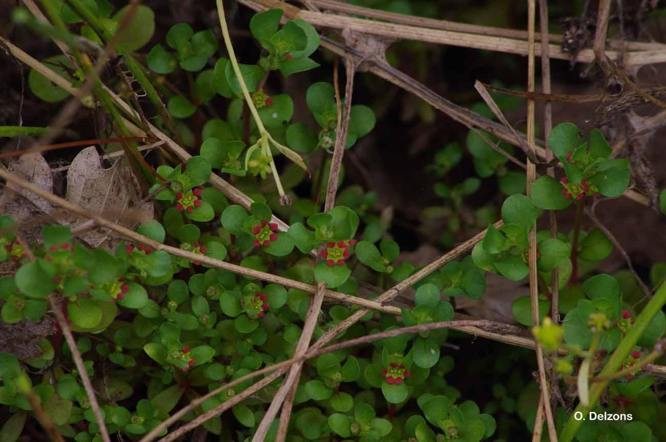 Lythrum borysthenicum