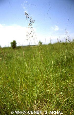 Poa pratensis subsp. angustifolia