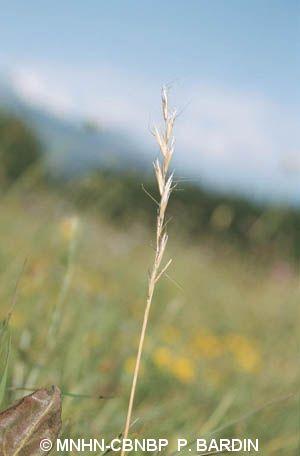 Danthonia alpina