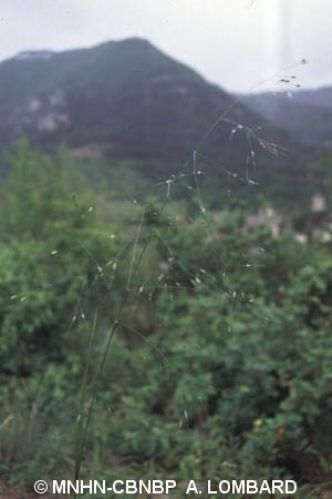 Piptatherum virescens