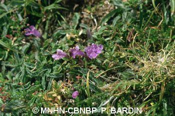 Clinopodium corsicum