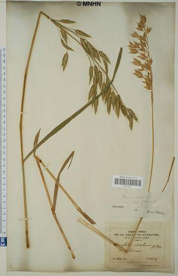 Bromus grossus var. arduennensis