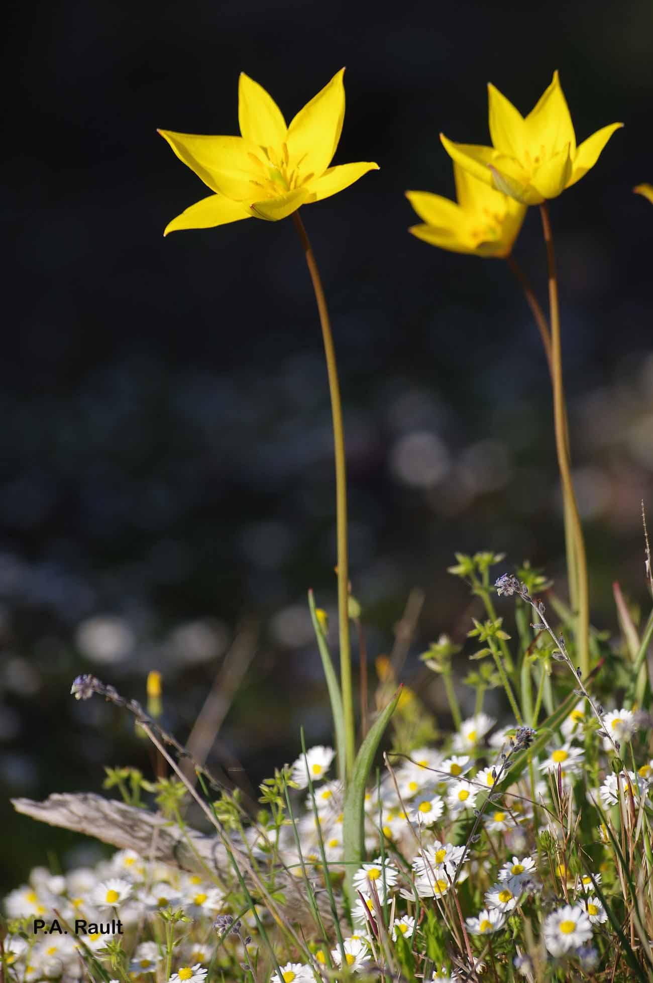 Tulipa sylvestris subsp. sylvestris