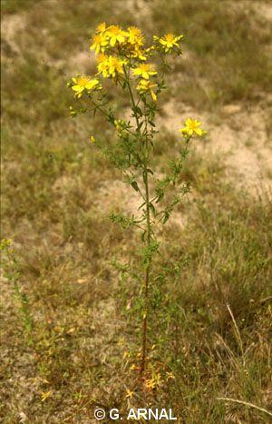 Hypericum maculatum subsp. obtusiusculum
