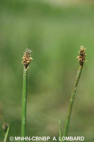 Eleocharis mamillata
