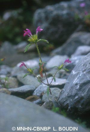 Galeopsis pyrenaica